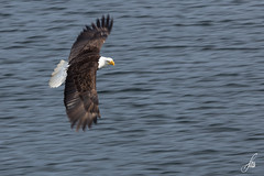 Bald Eagle (Panning Attempt) (SorenHedberg) Tags: canada nature eagle britishcolumbia wildlife bald adventuretours khutzeymateen skeenaqueencharlottea