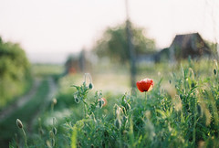 walking (.nevara) Tags: light red flower color colour detail green film grass analog evening spring fuji village sundown bokeh walk grain 200 poppy poppies
