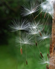 Make a Wish (nellybiscuit) Tags: dandelions seedheads uploaded:by=flickrmobile flickriosapp:filter=nofilter