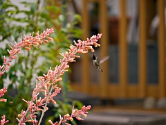 Hummer in the Yucca (Corgibird) Tags: new flowers nature animals yard bees bee hummingbirds wildflowers yucca flicker wildbirds blackchinnedhummingbird backyardbirds blackchin