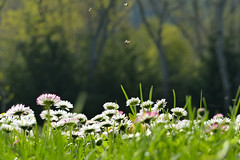 (evisdotter) Tags: flowers light nature spring bokeh insects blommor bellis land