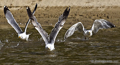 Zafarrancho / Call to action (jm.trujo) Tags: naturaleza seagulls nature water birds animals agua gulls aves pajaros animales gaviotas jmtrujo josemanueltrujillo jmtrujocom jmtrujofotoemocion gaviotasdespegandodelagua seagullstakingoffthewater
