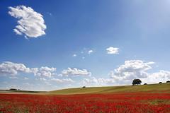 (cherco) Tags: blue light red color colour tree verde green luz field grass azul clouds arbol rojo screensaver horizon meadow explore nubes poppy campo forms prado formas horizonte amapola hierva salvapantalla
