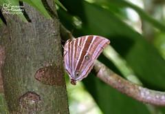 The Rusty Palmking - ผีเสื้อหนอนมะพร้าวสีสนิม