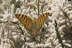 "Argynnis Pandora (frontal) • <a style=""font-size:0.8em;"" href=""http://www.flickr.com/photos/15452905@N02/8938965537/"" target=""_blank"">View on Flickr</a>"