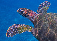 hawksbill (bluewavechris) Tags: ocean life blue sea brown nature water animal swim canon hawaii marine underwater snorkel turtle reptile wildlife dive shell maui scales hawksbill endangered creature flipper freedive g1x