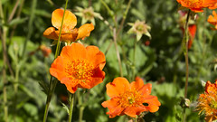 Garden Colours - Reddish Orange (Clif Budden) Tags: flowers color colour me garden pansy forget not