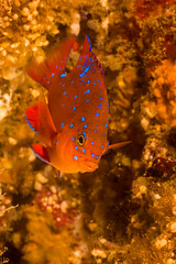 GaribaldiJuvJun7-13 (divindk) Tags: ocean fish color marine underwater diving catalinaisland scubadiving reef garibaldi channelislands avalon underwaterphotography damselfish channelislandsnationalpark juvenilegaribaldi hypsypopsrubicundus diverdoug juvenilefish casinopointdivepark