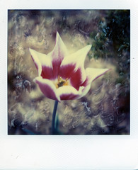 Tulip (Jacob's Camera Closet) Tags: camera flower film polaroid sx70 time manipulation tulip instant sonar zero
