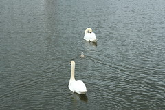 Swan Family (marie137) Tags: bird animal swan cygnet marie137