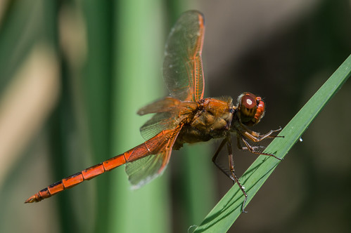 needhams skimmer ♂