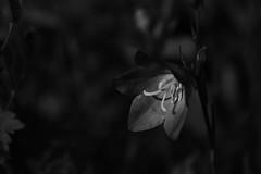 _DSC1282 (Peeturh Jackson) Tags: morning light summer blackandwhite sun flower nature early nikon stamen blackandwhitephotography widnes halton nikond3100