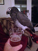 Ellie wants to be the focus of my attention (shyzaboy) Tags: pet bird animal parrot ellie africangray timneh elegua paininthebutt
