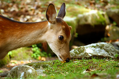 Sika Deer in Nara Park (sleepyhead's) Tags: japan deer 日本 nippon nara nihon japanesedeer sika narapark shika 奈良公園 鹿 日本国 奈良県 naraken 奈良市 cervusnippon sikadeer シカ spotteddeer narashi narakōen ニホンジカ narakouen