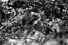 Portrait (skinner08) Tags: bw white black analog nikon zoom kitlens scan 150 negative ape apx100 agfa tierpark sh canoscan schwarz schleswigholstein affe nms 2880mm selfdeveloped n75 neumnster weis f75 adox adonal 13min 8800f kleinbild 13356g