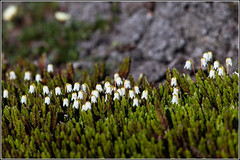 Arctic Bell Heather (Cassiope tetragona) (Smudge 9000) Tags: summer plant flora bell heather svalbard arctic 2013 cassiopetetragona svalbardandjanmayen