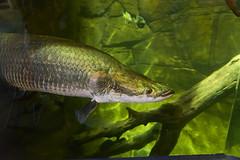 DTC_6262r (crobart) Tags: new fish aquarium camden adventure arapaima pirarucu jersery