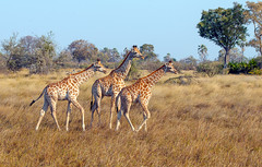 Africa 2013 -slide show-87 (Dennis Westover) Tags: africa giraffe