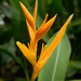 "Heliconia x golden torch • <a style=""font-size:0.8em;"" href=""http://www.flickr.com/photos/101688182@N03/9833466533/"" target=""_blank"">View on Flickr</a>"