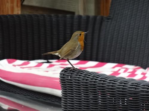 Robin, Sally's Tea Room, Little Mill 26 September 2013