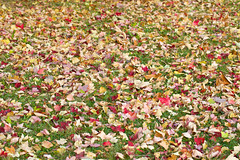 Fall Coverings (giantmike) Tags: autumn red orange brown green fall nature colors leaves yellow maple madison wi canonef100mmf28lmacroisusm