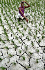 Heat in India (USAID_IMAGES) Tags: india usaid vertical drought farmer agriculture assam ricepaddy crouching offbeat ricegrowing tezpur usagencyforinternationaldevelopment