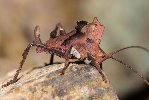 Amazing Leaf-like Katydid