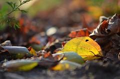 sz (ffruzsi.) Tags: autumn light brown blur green fall leaves yellow yard garden dark out lens outside back leaf twilight nikon hole bokeh background side ground blurred falling telephoto tele nikkor dslr moor moorland d5100