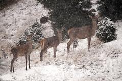 Le tre comari sotto la neve (Claudio Ghizzo) Tags: nikon sigma neve tele cansiglio cervi d90 primaneve hsm 150500 ilnuovotele