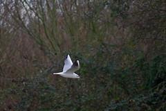 882-04L (Lozarithm) Tags: gulls canals k50 gloucs 55300 gloucestersharpness justpentax pentaxzoom cambridgegloucs hdpda55300mmf458edwr