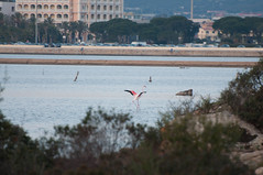 DSC_7634.jpg (Ferraris Clemente) Tags: sardegna wild birds sardinia uccelli pinkflamingo olbia stagno fenicotterirosa