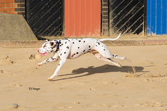 Running Dalmatian (EJ Images) Tags: uk england dog pet slr dogs coast suffolk nikon nef canine running coastal seafront dslr dalmatian eastanglia lowestoft 2014 runningdog nikonslr d90 nikondslr suffolkcoast nikond90 suffolkcoastal 55300mmlens lowestoftseafront ejimages dsc068001c