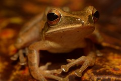Portrait of a Polypedates (antonsrkn) Tags: wild nature asia amphibian frog malaysia borneo treefrog sabah herp anura anuran polypedatesleucomystax fourlinedtreefrog maluaforestreserve