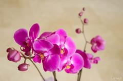orquidea (inma F) Tags: orqudea