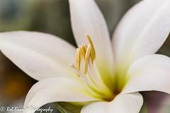 20140216_2358_Amaryllis (Rob_Boon) Tags: white plant flower macro amaryllis wit robboon