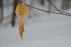 Tel un cocon (jora63) Tags: winter snow leave hiver neige feuille branche