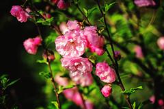 Waiting for spring (Smo_Q) Tags: flower spring wiosna migdałowiec prunustriloba pentaxk5