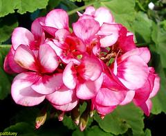 Geranium in my garden (pat.bluey) Tags: pink flowers australia newsouthwales blacktown 1001nights mygarden geranium 1001nightsmagiccity hennysgardens sunrays5