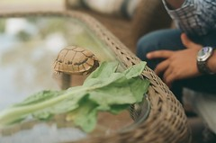 darling. (La Vinia) Tags: food film animal analog 35mm turtle reptile tortoise shell vegetable 200iso lettuce expired nutrition