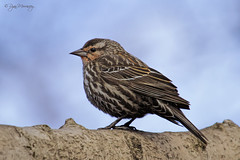 Pretty Girl (NYC Wild) Tags: park nyc red urban ny bird nature female brooklyn wildlife winged blackbird prospect b14 canon7d
