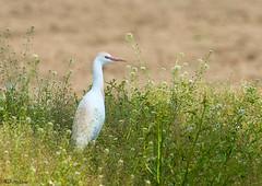 AIRONE GUARDABUOI - Bubulcus ibis (ric.artur) Tags: nikon natura ali piemonte naturalmente airone volatili guardabuoi