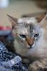 Luluʻs Blue Eyes #3 (Moviechic07) Tags: cats blueeyes cateyes cateye beautifulcats