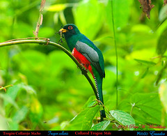 COLLARED TROGON Male Trogon collaris carrying a WALKING STICK to its Nest. Mindo, ECUADOR. Trogon Photo by Peter Wendelken. (Neotropical Pete) Tags: ecuador ngc walkingstick npc mindo pichincha ecuadorbirds trogoncollaris collaredtrogon southamericanbirds neotropicalbirds trogoniformes trogonidae trogón trogóncollarejo peterwendelken ecuadorphoto collaredtrogonmale ecuadorbirdingtripreport collaredtrogonfledgling collaredtrogonnest surucuádecoleira ecuadortrogons southamericantrogons mindotrogons trogonphotobypeterwendelken collaredtrogoninecuador collaredtrogonphoto collaredtrogonwithwalkingstick collaredtrogonwithinsect