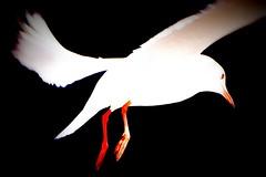 DSC04807 (horuhoru) Tags: park bird seagull yokohama   yamashita      rx100