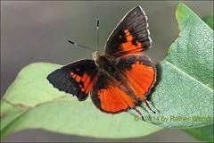 IMG_3513 Axiocerses harpax ♂ (Raiwen) Tags: africa guinea westafrica moyenneguinée butterfly lycaenidae theclinae axiocerses axiocersesharpax butterfliesofthefoutadjalon