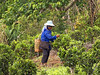 Tea field worker (JJ Doro - Bangkok) Tags: thailand seasia tea northern northernthailand salong teapicker teafield maesalong chiangraiprovince santikhiri chiangraibanruammit