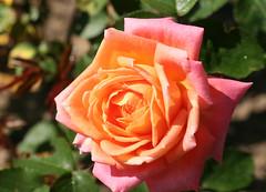 07-IMG_4253 (hemingwayfoto) Tags: rose flora pflanze gelb blume blte stadtpark botanik blhen duftend rosengewchs beetrose floridavonscharbeutz