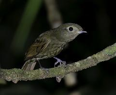 FLAUTIM (Schiffornis virescens) (Dario Sanches) Tags: brasil natureza ave passaro registro valedoribeira flautim schiffornisvirescens