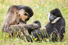 2015-07-16-15h16m29.272P4781 (A.J. Haverkamp) Tags: netherlands zoo thenetherlands beeksebergen noordbrabant dierentuin hilvarenbeek safariparkbeeksebergen whitecheekedgibbon witwanggibbon httpwwwsafariparknl canonef500mmf4lisiiusmlens