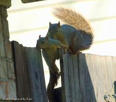 Who Knew There Was A Learning Curve For Fence Walking? Part 8 (Kaptured by Kala) Tags: baby nature fence squirrel squirrels mama klutz babysquirrel foxsquirrel mamaandbaby garlandtexas mamasquirrel fencewalkinglessons